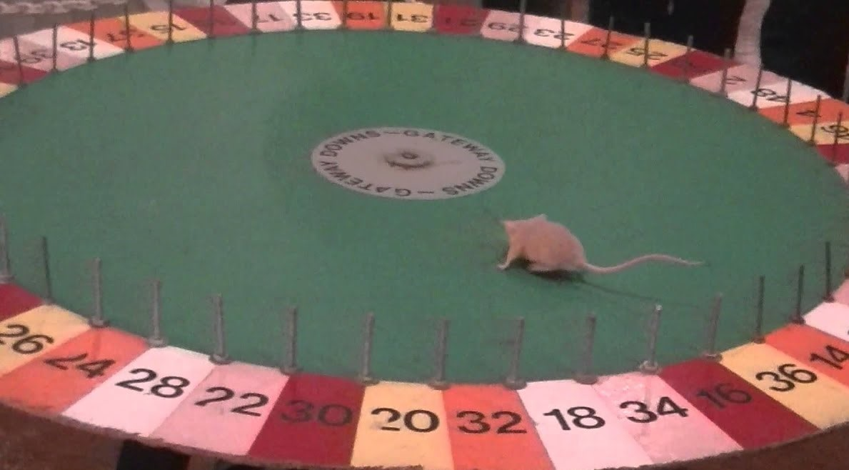 A small mouse on a rodent Roulette wheel - one of the strangest gambling games.